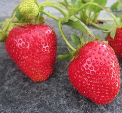 Какой сорт клубники лучше выращивать в подмосковье?
