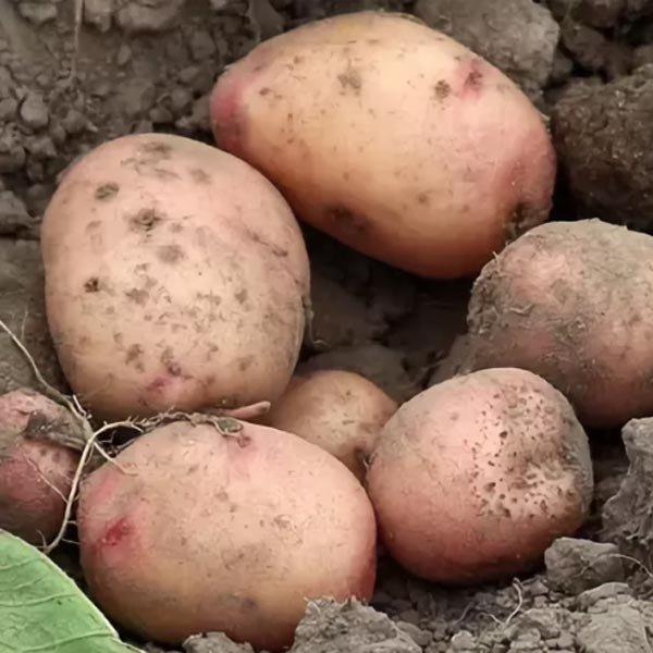 сорт картофеля весна фото как понимаю